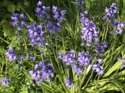 Bluebells here in May