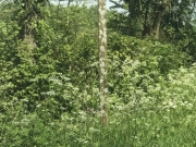 Frothy cow parsley line many walks and verges